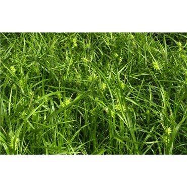 Carex grayi (laîche)