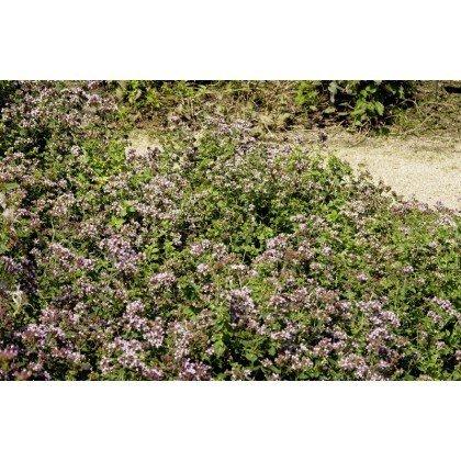 Origanum vulgare (marjolaine)