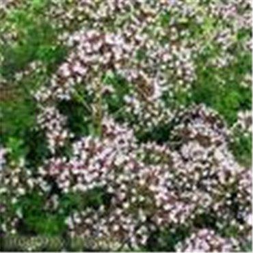 Origanum vulgare Compactum (marjolaine compact)