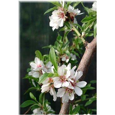 Prunus dulcis (amandier, demi-tige)