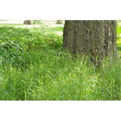 Carex muskingumensis (Laîche des rives)
