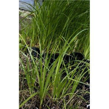 Cyperus longus (Souchet, brun rouge)