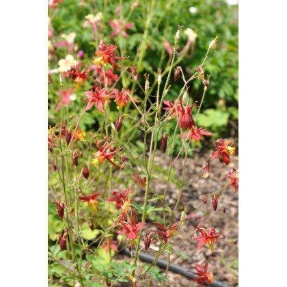 Aquilegia caerulea Crimson Star (Ancolie)