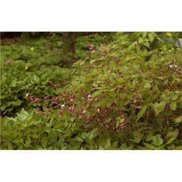 Epimedium rubrum (fleur des elfes)