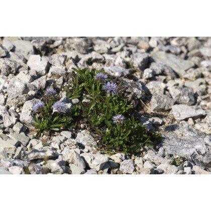 Globularia cordifolia (globulaire)
