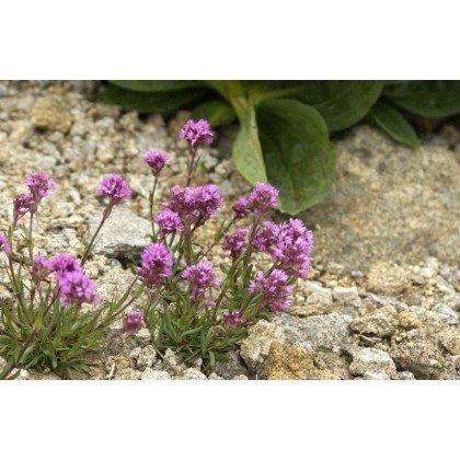 Lychnis alpina (Silène)