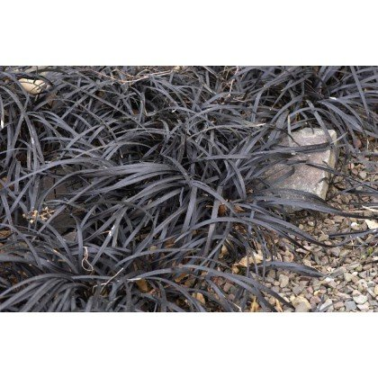 "Ophiopogon planiscapus ""Niger"" (Barbe de serpent)"