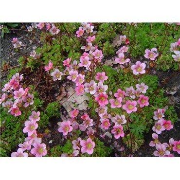 """Saxifraga arendsii """"Highlander rose"""" (Saxifrage)"""