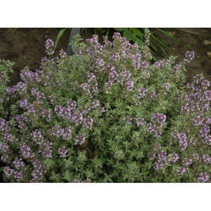 """Thymus citriodorus """"Silver Queen"""" (Thym)"""