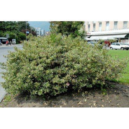 Ilex aquifolium Argenteomarginata  (zweifarbige Stechpalme )