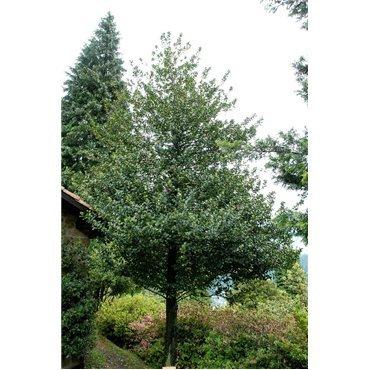 Ilex aquifolium (houx commun)