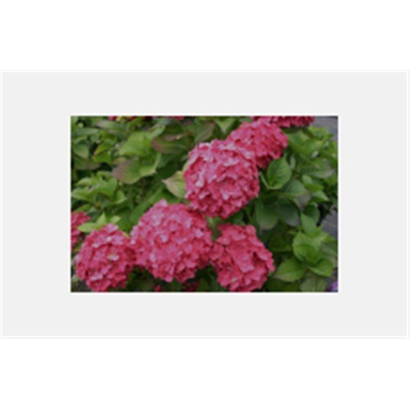 Hydrangea macrophylla Boule rouge ( rote Hortensie)