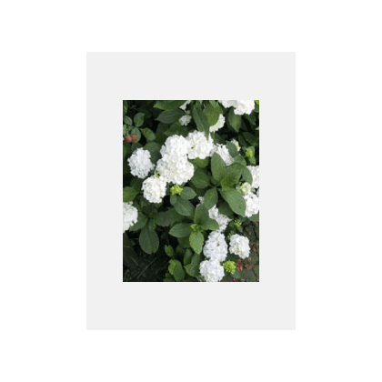Hydrangea macrophylla Boule blanc ( weisse Hortensie)