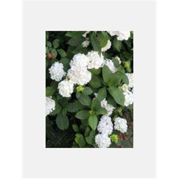Hydrangea macrophylla Boule blanc (Hortensia)