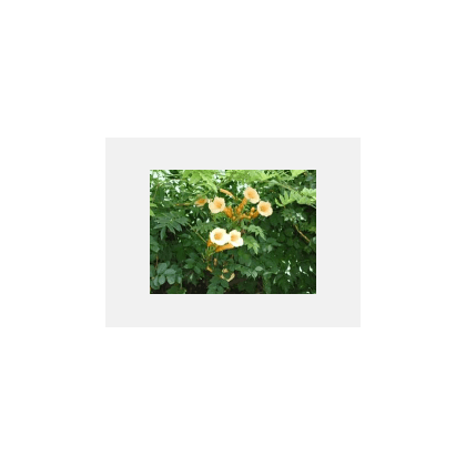 Campsis radicans Flava (bignogne)