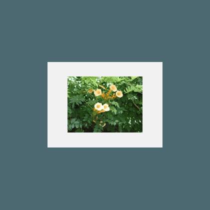 Campsis radicans Flava ( gelbe Trompetenwinde )