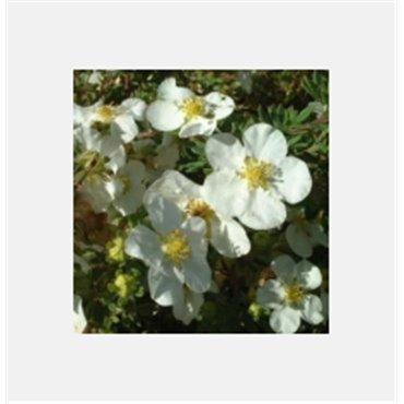 Potentilla fruticosa Abbotswood ( Fünffingerstrauch )