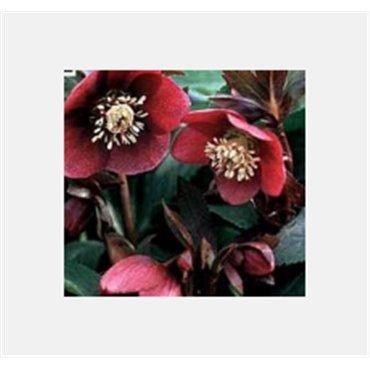"Helleborus orientalis hyb. ""Red Lady"" (Christrose )"