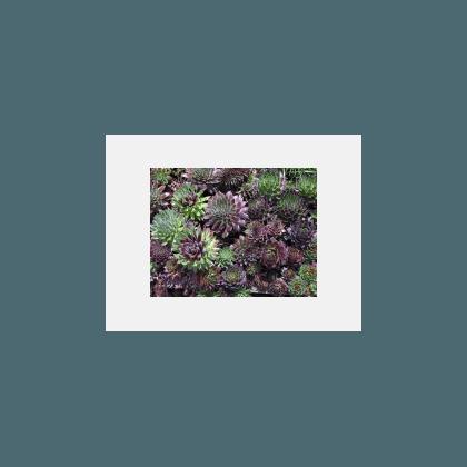 Sempervivum hyb. en variétés (Joubarbe)