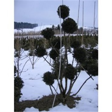 Taxus media 'Hicksii' Pompons M1