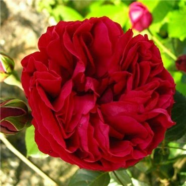 Rosier grimpant Red Eden Rose (R)