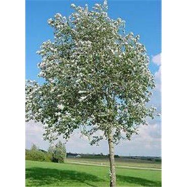 Populus alba Nivea ( Silberpappel, Weisspappel )