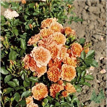 Miniaturrose Orange Babyflor (R)