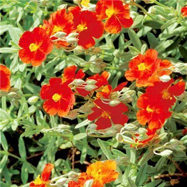 Helianthemum Hybrides Jack Scott ( Sonnenröschen )