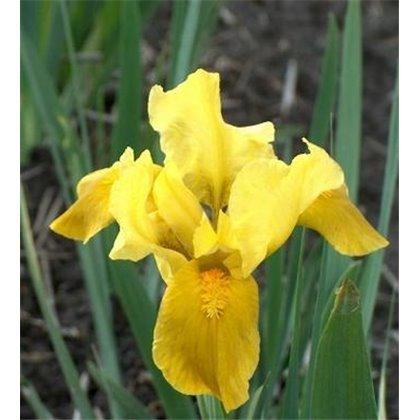 Iris pumila Gleaming gold (iris nain)