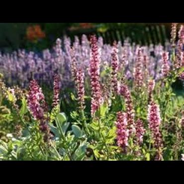 Salvia nemorosa Rosenkönigin