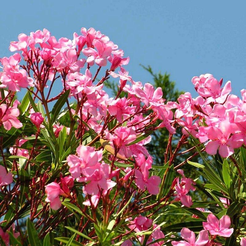 Nerium oleander ( Laurier rose , rouge simple)
