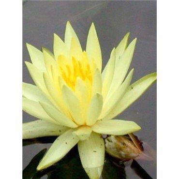 Nymphaea X 'Sulphurea' (Nénuphar, jaune soufre)