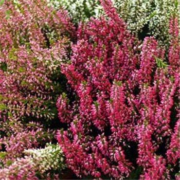 Erica X darleyensis, rouge (Bruyère de Darley)