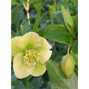 "Helleborus orientalis hyb. ""Yellow Lady"" ( Christrose )"