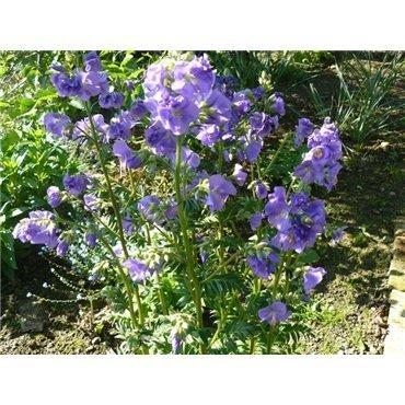 """Polemonium caeruleum """"Azuro"""" ( Himmelsleiter, Jakobsleiter, Sperrkraut)"""