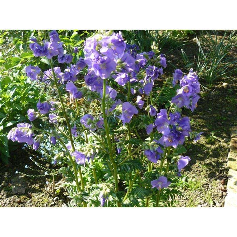 "Polemonium caeruleum ""Azuro"" (Polémoine)"