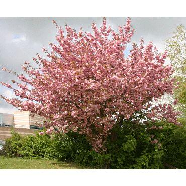 Prunus serrulata Kanzan (cerisier d'ornement, cerisier à fleurs) *