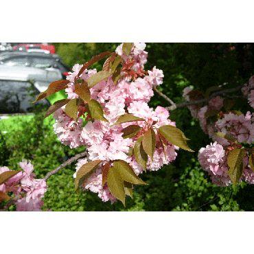 Prunus serrulata Kanzan auf Stamm ( Blütenkirsche, Zierkirsche )