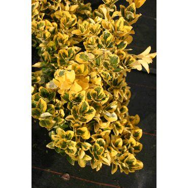 Euonymus japonicus Aureomarginatus ( Spindelstrauch )