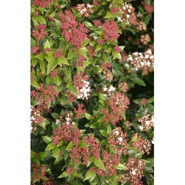 Viburnum tinus (laurier thym) *