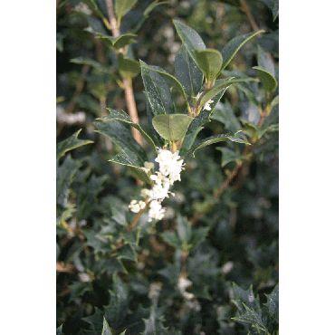 Osmanthus heterophyllus ( Herbstduftblüte)
