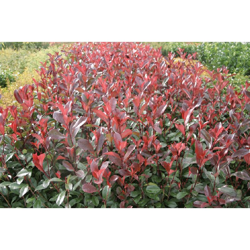 Photinia fraseri Red Robin ( Glanzmispel )