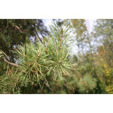 Pinus sylvestris ( Waldkiefer, Rotföhre )