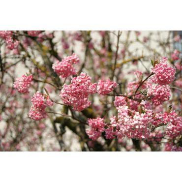 Viburnum bodnantense (viorne d'hiver, viorne odorante) *