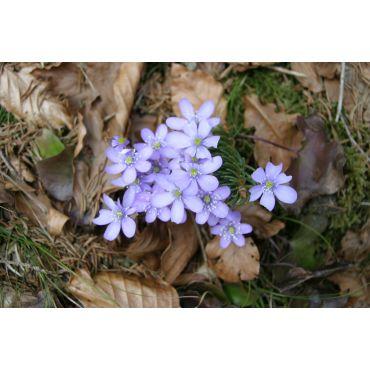 Hepatica nobilis ( Leberblümchen)