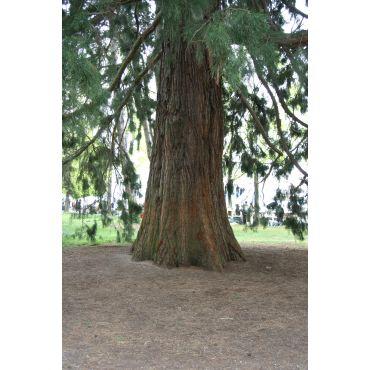 Sequoiadendron giganteum (sequoia géant)