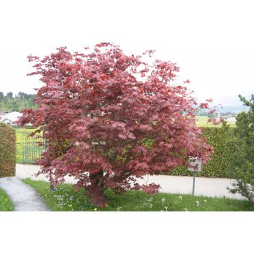 Acer palmatum Atropurpureum ( roter Fächerahorn)