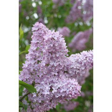 Syringa vulgaris Charles Joly (lilas de nos jardins)