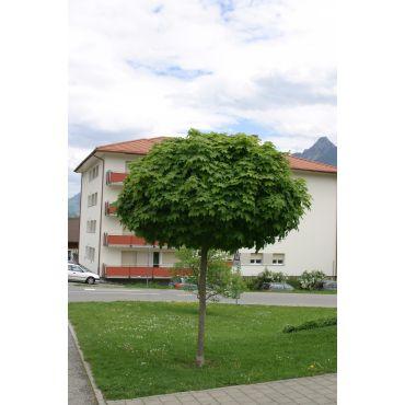 Acer platanoïdes Globosum sur tige (érable plane boule)