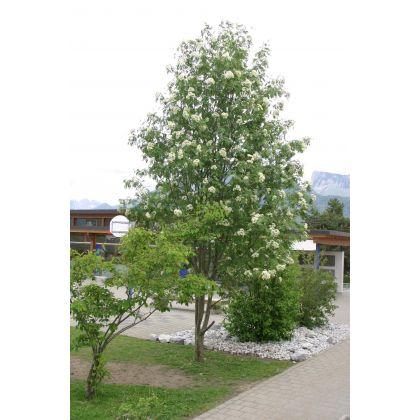 Sorbus aucuparia (sorbier des oiseaux) *